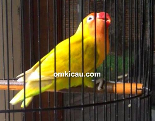 Lovebird Dewi Pengasih (Depe)