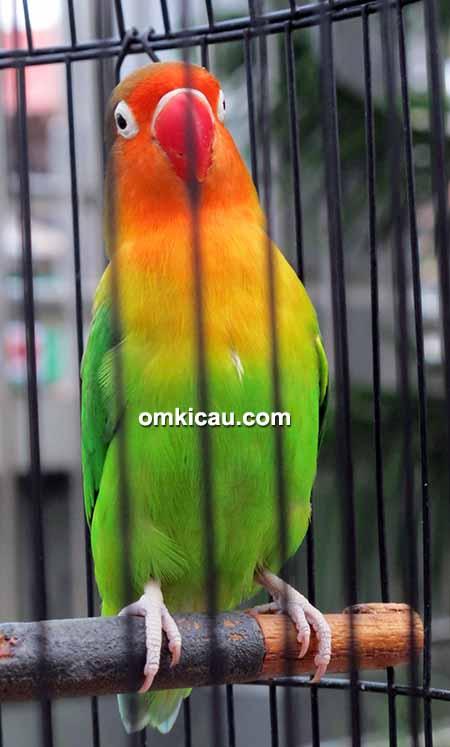 Lovebird Miss Gedek