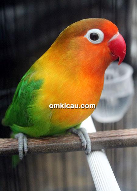 Lovebird Oly