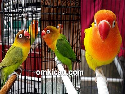 lovebird Om Benny-LWS