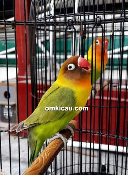 Lovebird Rondo Royal