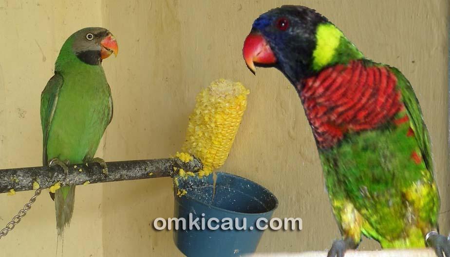 Memelihara burung paruh bengkok dengan menu rawatan yang sehat dan berkualitas