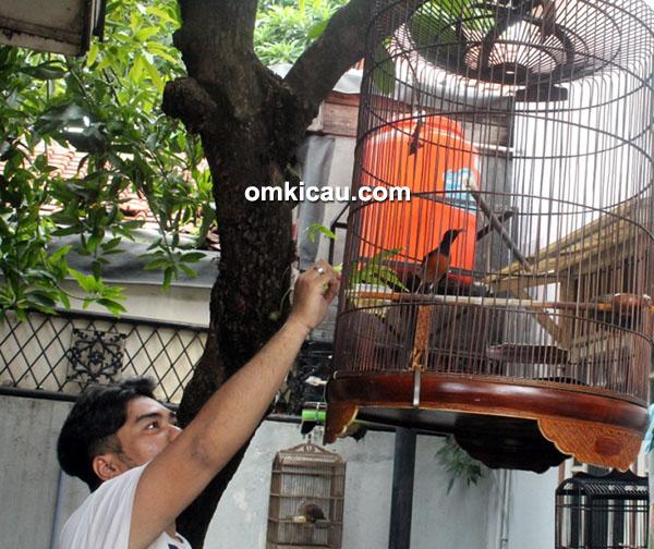 RMA Bird Shop - murai batu siap lomba