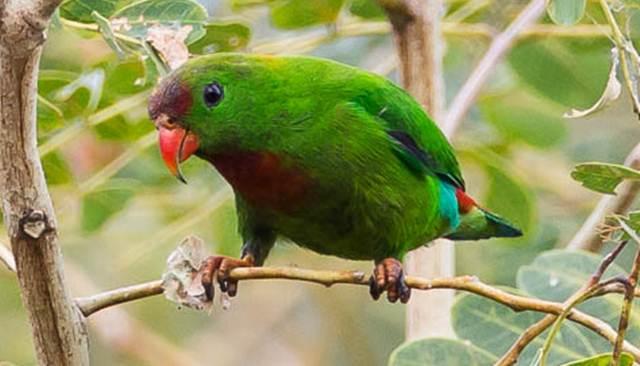 Philippine hanging parrot, burung serindit endemik Filipina