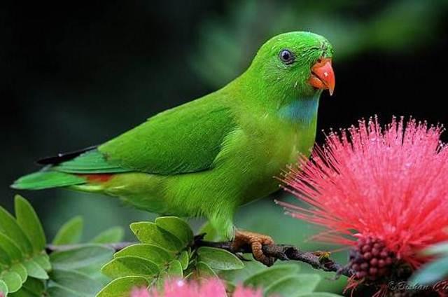 Vernal hanging parrot atau serindit yang berasal dari India