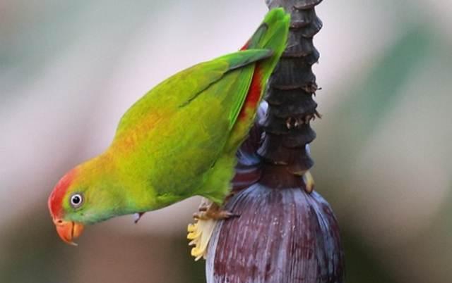 Sri Lanka hanging parrot, burung serindit endemik Sri Lanka