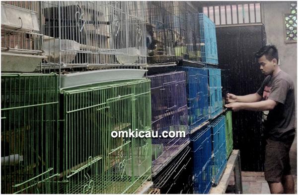 breeding lovebird White BF Jakarta
