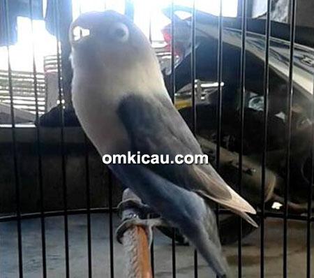 Lovebird Pasifik