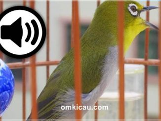 Pleci auriventer memiliki suara kicauan yang ngebas