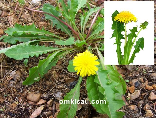 Tumbuhan dandelion yang banyak tumbuh liar