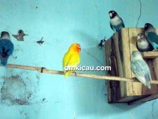 Breeding lovebird Arif Sangkar Kicau