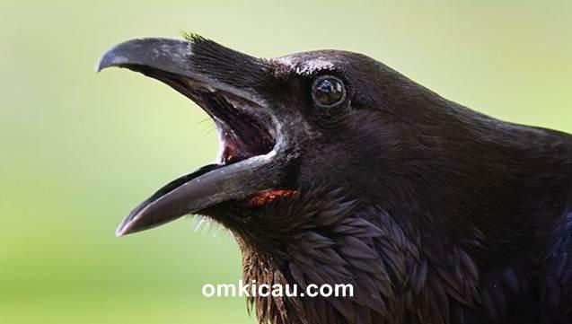 Perilaku burung gagak