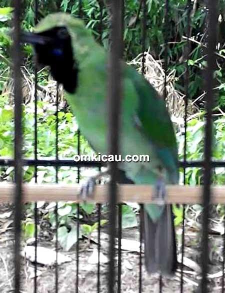 Cucak hijau Doremi