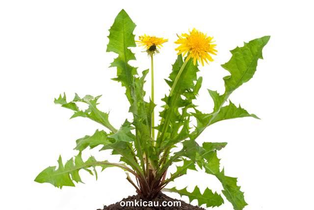 Dandelions (taraxacum officinale) atau randa tapak yang bermanfaat untuk burung peliharaan