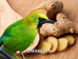Tanaman jahe yang memiliki banyak manfaat untuk burung peliharaan