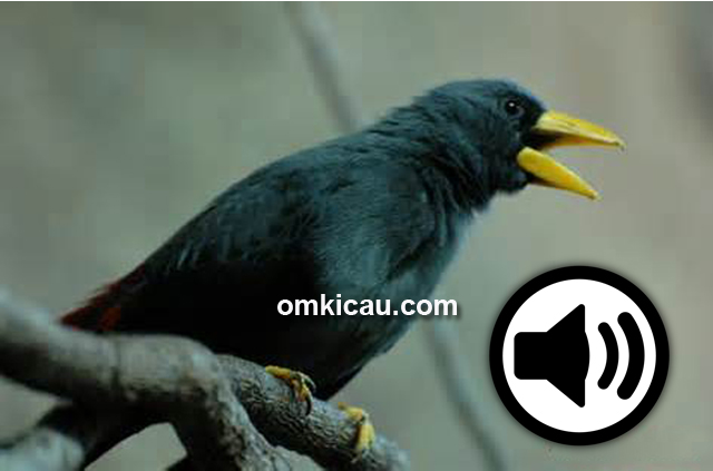Jalak tunggir merah (Grosbeak starling) atau rio-rio
