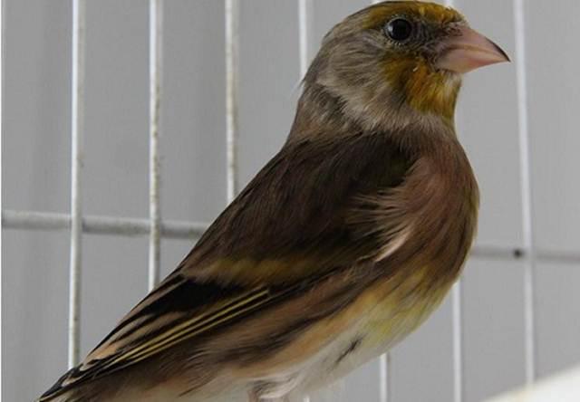 Kenari mule silangan dari European goldfinch dengan kenari lokal