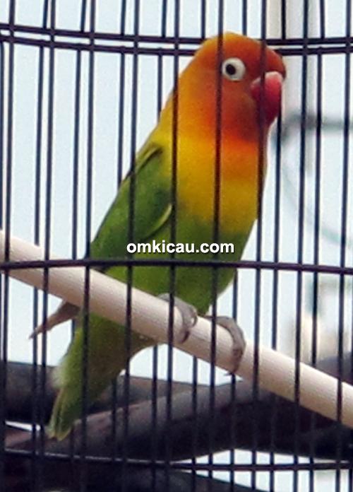 Lovebird Bejo