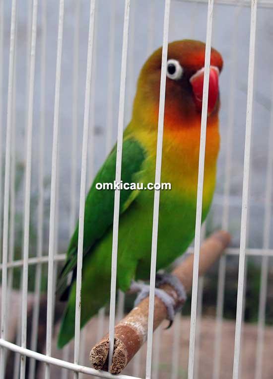 Lovebird Cebol