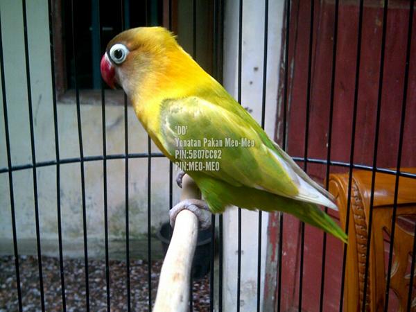 Lovebird Dewi-Dewi