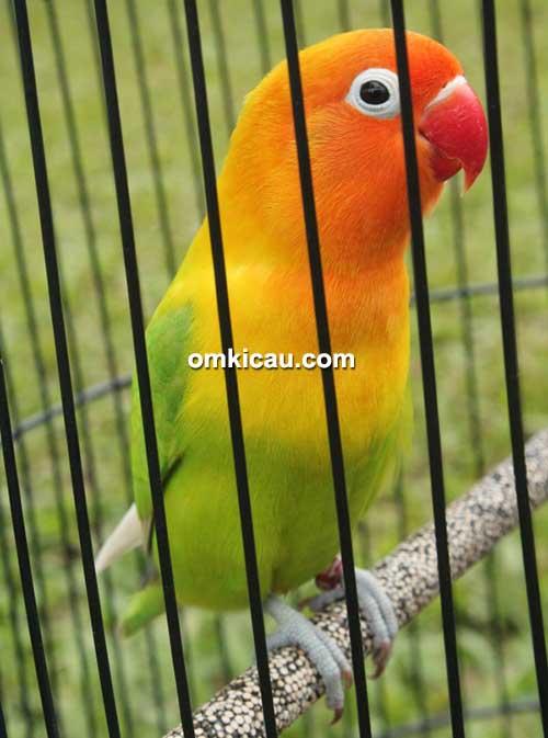 Lovebird Gideug