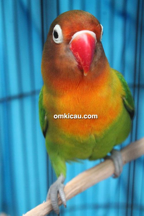 Lovebird Jibris