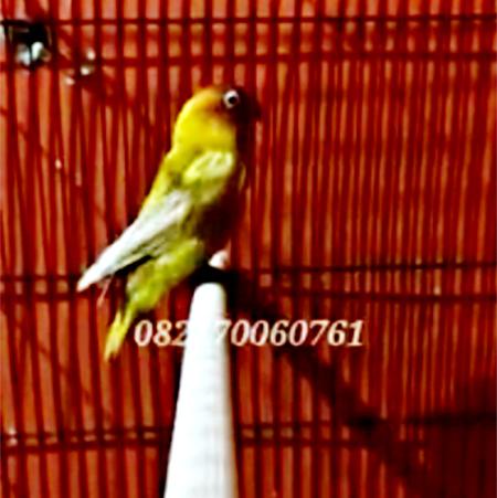 Lovebird Jojo