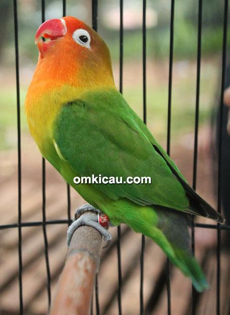 Lovebird Madona