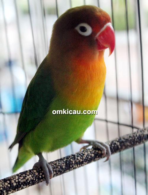 Lovebird Pretty