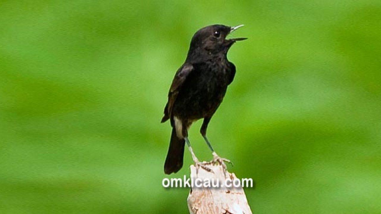 Tips Memilih Dan Merawat Burung Decu Belang Om Kicau