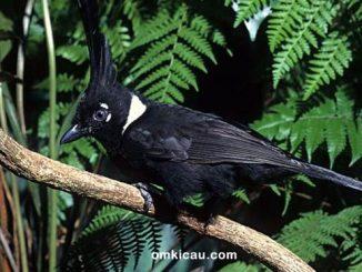 Merawat cililin hitam agar bersuara panjang