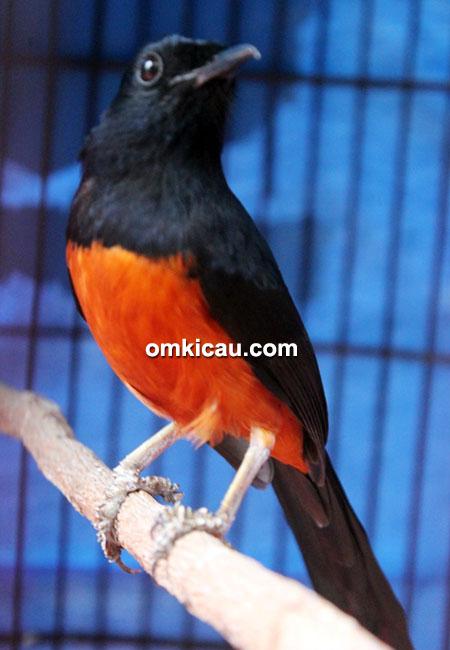 Murai blacktail Black Paser