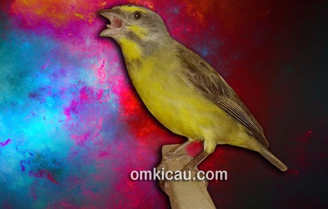 Memahami kebiasaan burung dan menerapkannya dalam rawatan harian bisa membuatnya cepat gacor