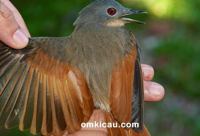 Philentoma yang terdiri dari dua jenis yang bisa ditemukan di Indonesia