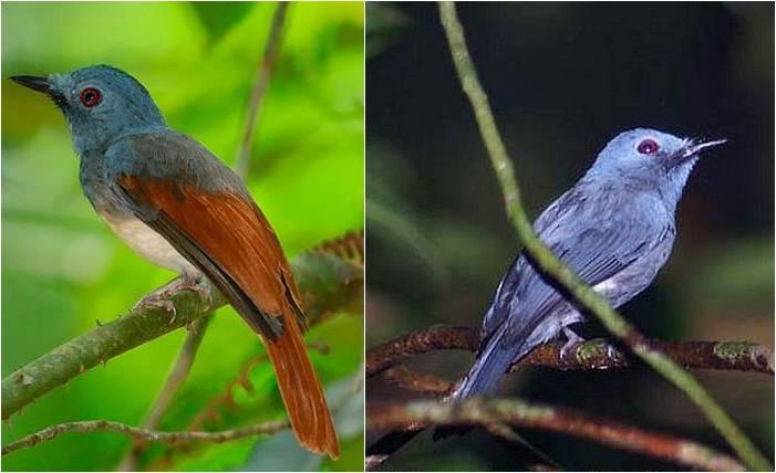 Burung jantan philentoma sayap-merah pola biasa (kiri) dengan jantan yang berpola kebiruan