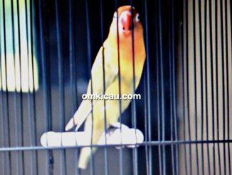 Lovebird Roro