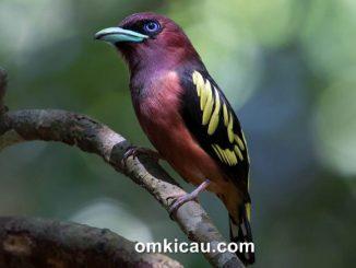 Burung sempur-hujan rimba yang berpenampilan sangar