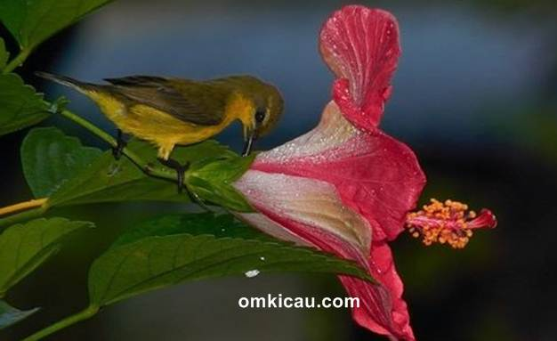 Burung-madu menghisap nektar dari bunga sepatu