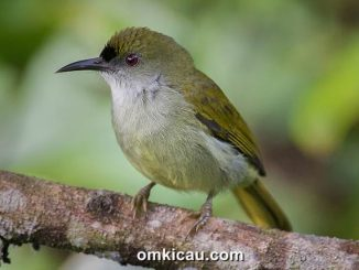 Burung-madu polos atau Plain sunbird