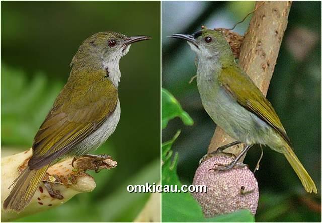 Perbedaan burung-madu polos jantan dan betina, burung jantan (kanan) memiliki dahi berwarna lebih gelap