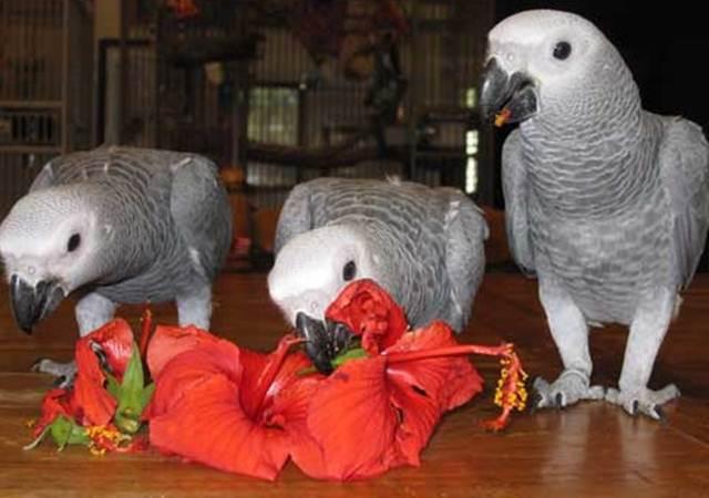 African grey parrot tampak lahap menyantap bunga sepatu