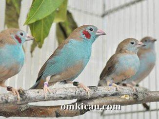 Blue-capped cordon-blue