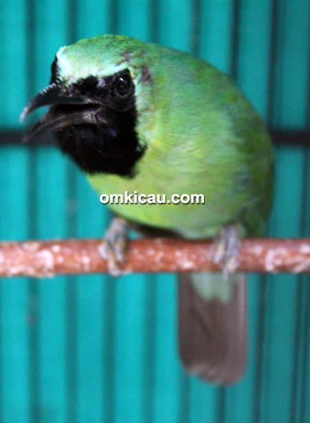 Cucak hijau Barongsai