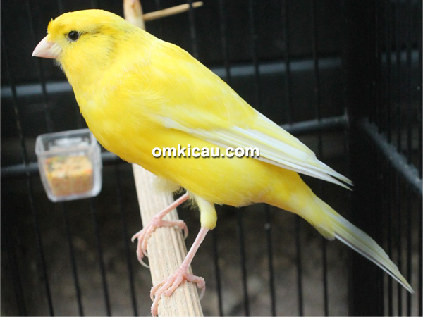 Kenari Yellow Monkey