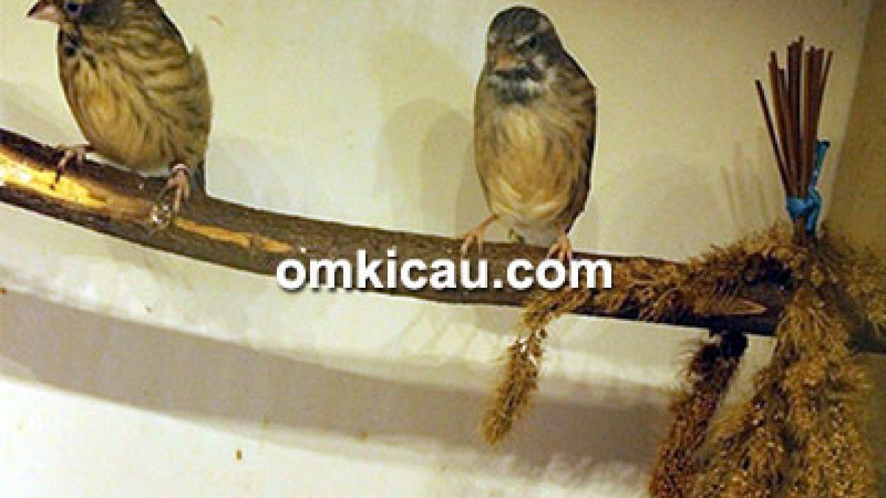 Tips Sukses Menangkar Blackthroat Lokal Ala Trisakti Bf Om Kicau