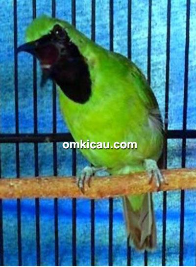 Cucak hijau Suneo
