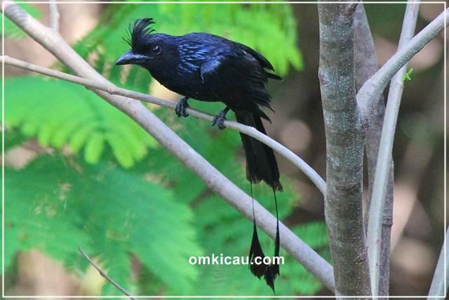 Srigunting batu yang memiliki kemampuan meniru suara burung dengan sangat baik