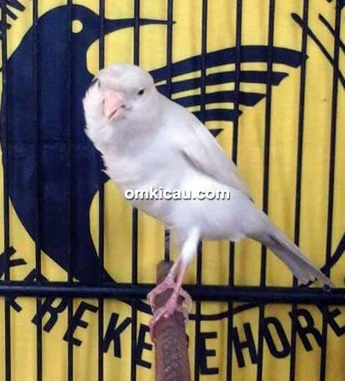 Kenari Vanilla