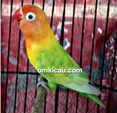 Lovebird Shisuka