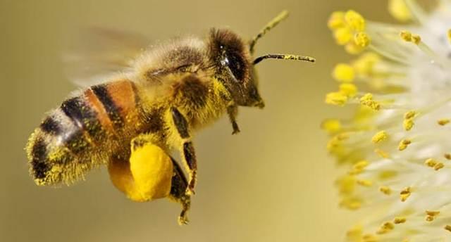 Lebah madu mengumpulkan tepung sari dan nektar pada kaki belakangnya